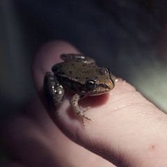 all glory to the hypnotoad. (annamorosini) Tags: love gold brother finger small frog rana goldeyes
