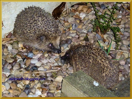 Snuffling Hedgehogs 1