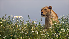 Wildlands lioness on the lookout