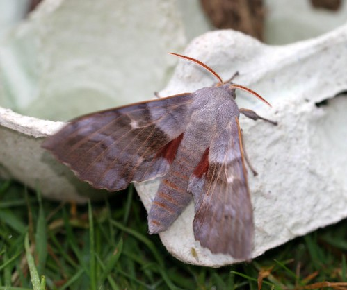 Poplar Hawkmoth (Laothoe populi)