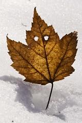 Happy Birthday Canada! (Canadapt) Tags: birthday holiday canada leaf canadaday canadapt