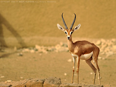 Ghazal (Faisal Al-shehri) Tags: zoo faisal       alshehri
