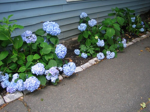 Sad Hydrangeas in Mid-July