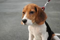 Beastie (Jezreel Cerbito) Tags: dog beagle