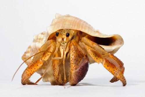 Hermit_crab-13