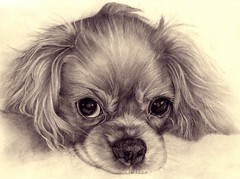 Jake,pencil drawing. (andream66) Tags: blackandwhite bw dog art animal pencil puppy sketch artwork drawing drawings spaniel cavalierkingcharles