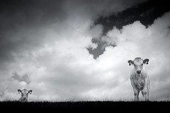 (chrisfriel) Tags: england blackandwhite bw field landscape cow chrisfriel