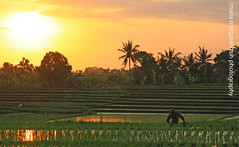 Rice Field View near Seseh Beach (Maaar) Tags: sunset people bali green ricefield ladang sawa paktani seseh