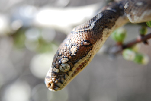 Adam (Diamond Python)