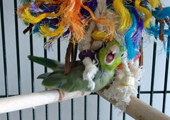 bird cage parrotlet pacificparrotlet