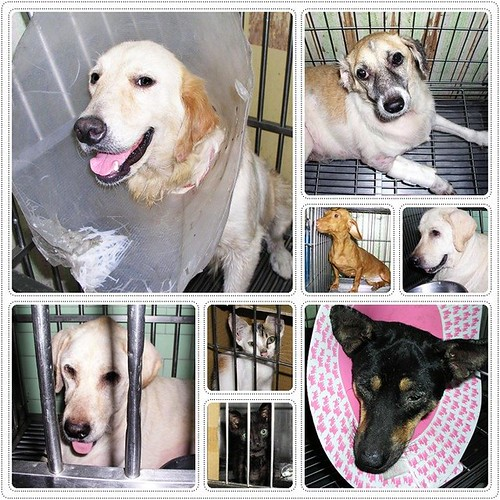 20090902『只缺一個機會!』台南西港狗場的黃金獵犬、盲眼的拉布拉多、臘腸、米克斯、貓咪等,誠徵願意不離不棄,不管老病,也會照顧他一輩子的新家庭.懇請隨手幫忙轉PO~謝謝您!