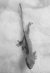 Dragon Yoga (Good Ol' Charlie Brown) Tags: baby reptile small lizard tiny gecko hatchling babygecko sethhall azshall