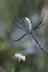 Spider (Peter van Rens) Tags: macro spider nikon arachnid 11 arachnida orbweaver argiope araneae d90 gardenorbweaver araneidae argiopetrifasciata bandedgardenspider araneomorphae 50mmreversedlens entelegynes 9mmextensiontubes
