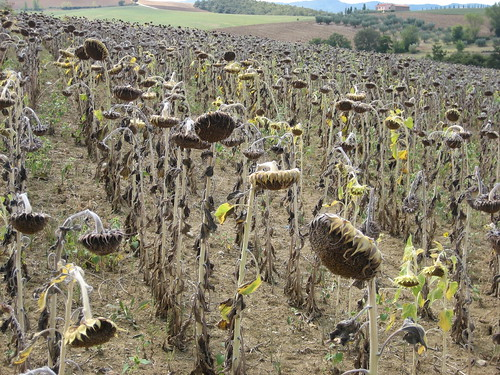 Dead Sunflowers 007