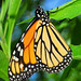 Monarch DSC_6500_c_e by thoeflich