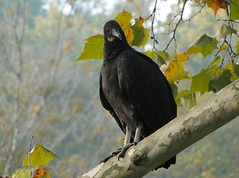 You Talking to Me? (cindy47452) Tags: statepark park black bird nature wildlife indiana vulture blackvulture lawrencecounty p193 springmillstatepark dschx1
