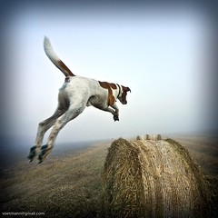 My Dog Is A Kangaroo!! (Voetmann) Tags: dog denmark fly jump danmark sigma1224mm haybale 1x1 haybales superdog jumpingdog bastian mydogcanfly bures slagslundeskov gulbjergmose canon5dvoetmann canon5dvoetmannkangaroo
