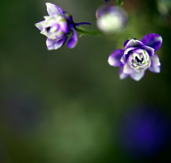 Happy Bokeh Wednesday! (JannaPham) Tags: friends summer flower macro dedication canon wednesday garden eos golden flickr pretty purple friendship bokeh 5d delphinium  project365 hbw jannapham