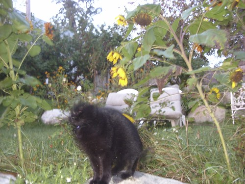 cat and sunflowers in the breeze