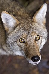 The Coyote (Emery O) Tags: coyote beach canon bay october 180mm 50d specanimal baybeachwildlifesanctuary