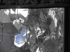 Morning Glory (Jackson Atwater Thomson) Tags: white black flower color pretty coloring selective selectivecolor