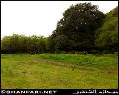 Wadi Darbat, Dhofar (Shanfari.net) Tags: flowers plants nature al natural ericsson sony greenery cave oman salalah  sultanate dhofar  khareef  haq      taqah    governate  madeinat   darbat taiq c905 maghsail  raythut