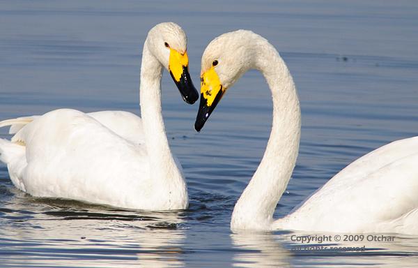 Swan's heart