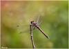 When God is the designer! (M@@nʎ) Tags: macro nature rose closeup insect iran pentax god dragonfly bokeh mazandaran ایران بابلسر رز babolsar حشره مازندران k100d سنجاقک خار ماکرو بوکه