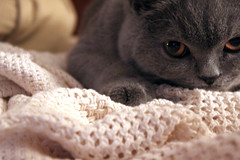 blankie (underwhelmer) Tags: cat kitten oskar britishshorthair scr