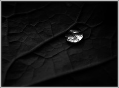A river inside [..Narayanganj, Bangladesh..] (Catch the dream) Tags: bw abstract black water monochrome leaves glitter blackwhite leaf drop droplet network veins dhaka colorless bangladesh vain shimmer complicated bangladeshi manikganj paturia gettyimagesbangladeshq2