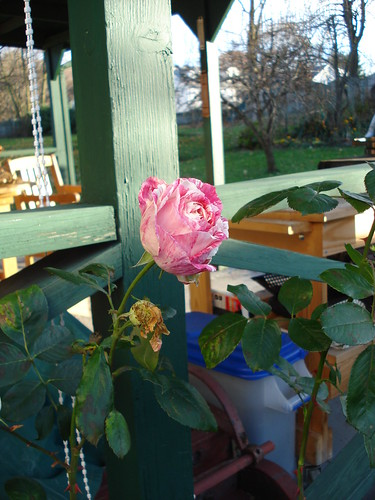 Probably the last rose bloom of the year