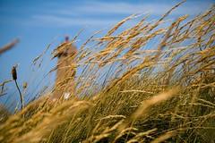 Per il faro (Marea_) Tags: faro perros phare paesaggio grano bretagna guirec
