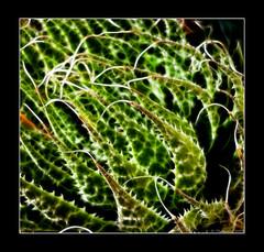 Spikes (II) (Thomaniac) Tags: cactus white plant abstract macro green art closeup lumix flora pflanze panasonic grün needles weiss spikes dmc nahaufnahme kaktus nadeln stacheln fractalius fs62 thomaniac
