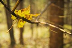 EFF Oct. 2009. Vrumaa. Pokumaa. Fall. Forest. Maple leaf. 8191. (Tiina Gill (busy)) Tags: tree nature yellow forest leaf maple estonia coth vanagram pokumaa