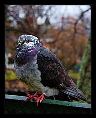 Pigeon on a Bench (Iguanasan) Tags: park canada bird bench delete5 delete2 novascotia pigeon delete3 delete delete4 halifax save1 publicgardens