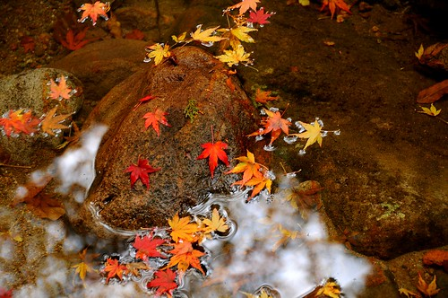 Fallen Maple Leaves, Akame Falls, Mie
