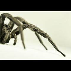 Lycosidae II (Alvarictus) Tags: macro nature insect spider eyes arachnid araña wolfspider insecto lycosidae arana lycosa peluda tarántula arácnido prosoma arañalobo artrópodo 20tfmacro smallcreatureswilllovethisplace licósido