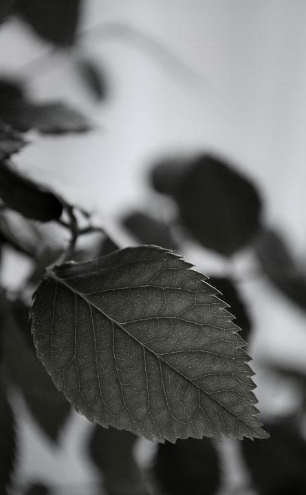 Photography - Miniature Rose Leaf by Nicholas M Vivian