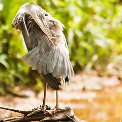 Grey Heron? (Jack-of-all-trades) Tags: kenko14xtc ef300mmf4lis ef14xtcii