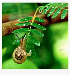 so sticky... (CK_Expresso) Tags: cute nature wet water beautiful animal lumix moving leaf movement focus bokeh adorable snail panasonic hanging behavior sticking afterrain lx3