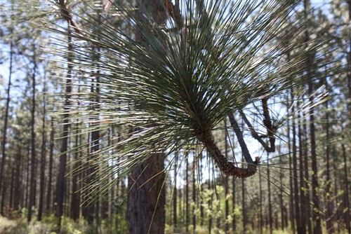 Longleaf forests once dominated the region, spanning 90 million areas. Deforestation and urbanization have jeopardized this ecosystem, and the Natural Resources Conservation Service offers programs to landowners who restore this precious habitat.