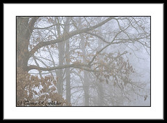 White Oak Tree in Fog (travelphotographer2003) Tags: usa mist green ecology misty fog spring solitude fresh westvirginia serenity refreshing appalachianmountains whiteoak beautyinnature quercusalba webstercounty appalachianfarm