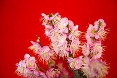 20170205長浜盆梅4738 (K.masao) Tags: plumblossoms flowers nature japanmasaokatayama