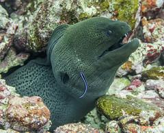 CleaningMoray (willblatch) Tags: morayeel similanislands thailand saltwater underwater scuba