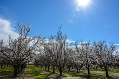Day 52 ~ Almond trees in bloom and some welcome sun (champbass2) Tags: day53 day52365 3652017 day365project california usa almondblossoms almondorchard sunburst lensflare bluecloudedsky trees row