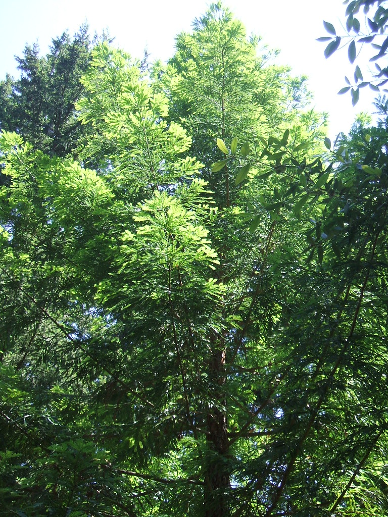 Partial canopy of trees at Kruckeberg