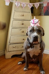 Dog Birthday Hat and Banner (inmyblueroom) Tags: birthday boy dog girl glitter silver gold anniversary name banner garland scrabble custom bunting celebtation
