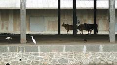 1-2-3 (tomato umlaut) Tags: india cattle shed bombay crow mumbai egret sewri