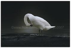 Flexibility (pongo 2007) Tags: uk wales swan europe roathpark great123 pongo2007