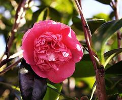 Luscious pink
